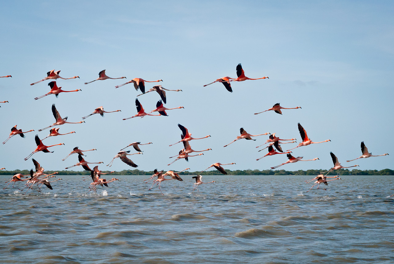 American Flamingos at the Flamingo Preserve near Camarones, Colombia.