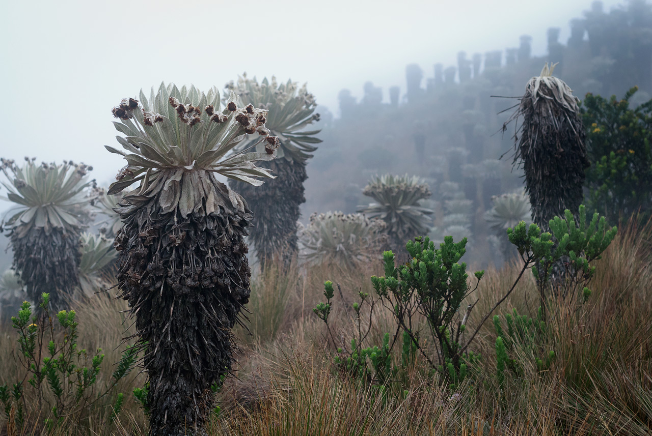 Frailejones on the paramo near Mongui, Colombia.