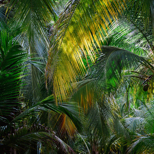 Palm fronds in Tayrona National Park, Colombia